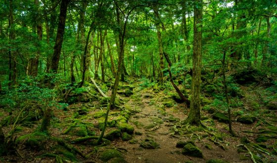 Explore Aokigahara, the Sea of Beautiful Trees!