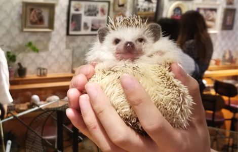 Play With Cute Hedgehogs At A Cafe In Harajuku Tokyo Question Japan