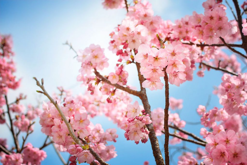 The Most Popular Japanese Flower Meanings Question Japan